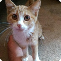 Domestic Shorthair Cat for adoption in St. Louis, Missouri - Sherbet