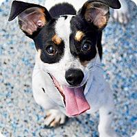 Rat Terrier Mix Puppy for adoption in Hawthorne, California - Montel