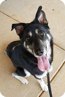 Shepherd (Unknown Type) Mix Dog for adoption in Alpharetta, Georgia - Tessaro
