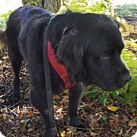 Adopt A Pet :: Percy - East Randolph, VT