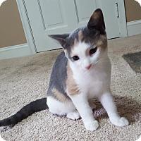 Domestic Shorthair Kitten for adoption in Carlisle, Pennsylvania - Bree