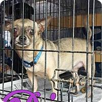 Adopt A Pet :: Diva - Smithtown, NY