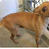 Adopt A Pet :: Canelo - Springdale, AR