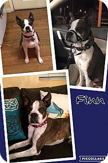 Boston Terrier Dog for adoption in Scottsdale, Arizona - Finn