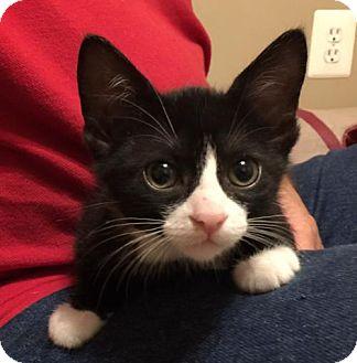 Domestic Shorthair Kitten for adoption in Herndon, Virginia - Skeeter