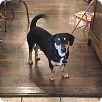 Adopt A Pet :: Dexter - Boerne, TX