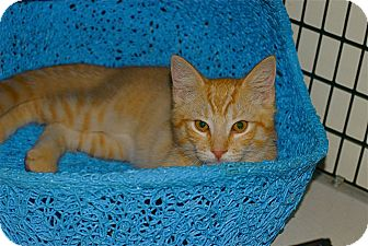 American Shorthair Kitten for adoption in Victor, New York - Rudee