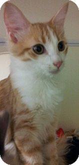 Domestic Mediumhair Kitten for adoption in Chandler, Arizona - Rory