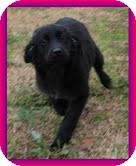 Border Collie/Flat-Coated Retriever Mix Puppy for adoption in Hagerstown, Maryland - Shana