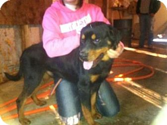 Rottweiler Mix Dog for adoption in Stilwell, Oklahoma - Boss