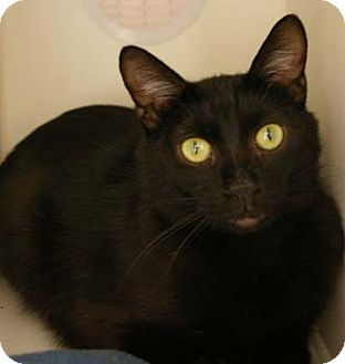 Domestic Shorthair Cat for adoption in Merrifield, Virginia - Brett