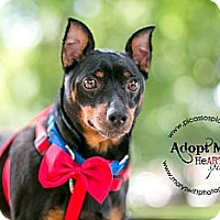 Adopt A Pet :: Buzzy - Myersville, MD