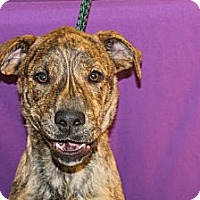 Adopt A Pet :: Blitz - Broomfield, CO