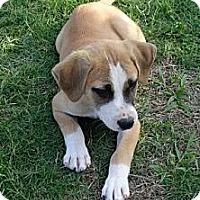 Adopt A Pet :: *Pumpkin - PENDING - Westport, CT