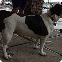 Adopt A Pet :: Nala (Urgent $100 off) - Brattleboro, VT