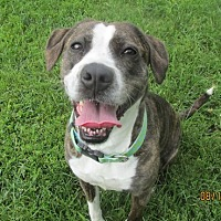 Boxer Mix Dog for adoption in Lake Odessa, Michigan - Carley