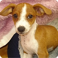 Adopt A Pet :: Wowser - Kirkland, WA