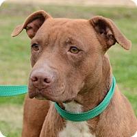 Adopt A Pet :: Mercy - Charlemont, MA