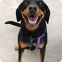 Adopt A Pet :: Shasta - Humble, TX