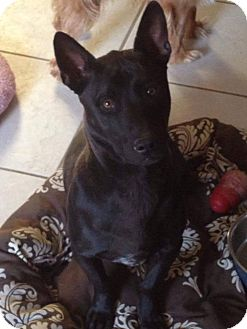 Thai Ridgeback Dog for adoption in Henderson, Nevada - Max