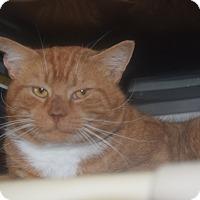 Adopt A Pet :: Dillinger - Pottsville, PA
