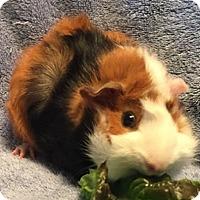 Adopt A Pet :: Rufus - Steger, IL