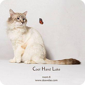 Himalayan Cat for adoption in Jurupa Valley, California - Cool Hand Luke