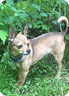 Chihuahua Dog for adoption in Sharon Center, Ohio - Poncho