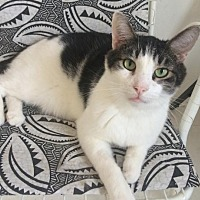 Adopt A Pet :: Patches - Montreal, QC