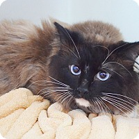 Adopt A Pet :: Tony Stark - Lincoln, NE