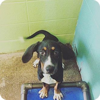 Black and Tan Coonhound/Treeing Walker Coonhound Mix Puppy for adoption in Sweetwater, Tennessee - Little Bit
