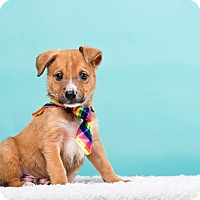 Terrier (Unknown Type, Small)/Spaniel (Unknown Type) Mix Dog for adoption in Houston, Texas - Harvey
