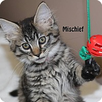 Adopt A Pet :: Mischief - Idaho Falls, ID