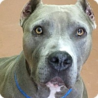 Pit Bull Terrier Dog for adoption in Kansas City, Missouri - Jumana