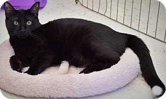 Domestic Shorthair Kitten for adoption in Hillside, Illinois - Shirley-5 MONTHS