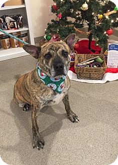 Boxer Mix Dog for adoption in Peace Dale, Rhode Island - Raphie