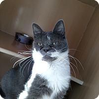 Adopt A Pet :: Lady Grey - Kingston, WA