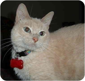 Domestic Shorthair Cat for adoption in Springdale, Arkansas - Jewels