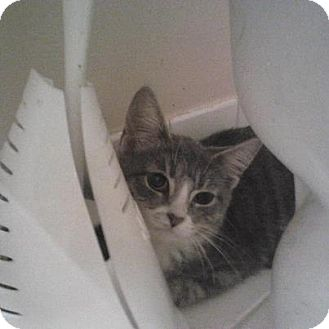 Domestic Shorthair Kitten for adoption in Pittstown, New Jersey - Riley