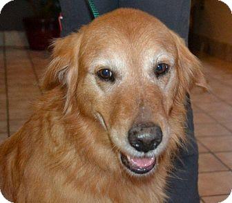 Golden Retriever Dog for adoption in Brattleboro, Vermont - Beau