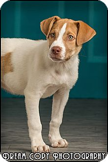 Labrador Retriever/Hound (Unknown Type) Mix Puppy for adoption in Owensboro, Kentucky - Lucky
