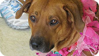 Labrador Retriever/Boxer Mix Dog for adoption in Scottsdale, Arizona - Ginger