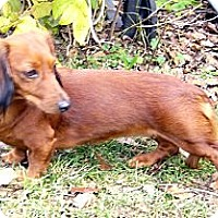 Adopt A Pet :: Ms Winnie Wienie - San Jose, CA