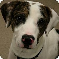 Adopt A Pet :: Gunner - Gilbert, AZ