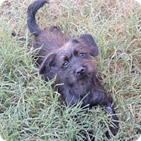 Adopt A Pet :: Whitley - Bedford, TX