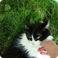 Domestic Longhair Cat for adoption in Rochester, Minnesota - Lucy