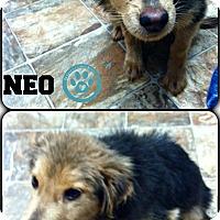 Adopt A Pet :: Neo - Kimberton, PA