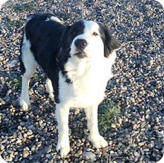 Border Collie Mix Dog for adoption in Fort Benton, Montana - Oliver