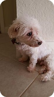 Maltese Dog for adoption in Gainesville, Florida - Maxx (FL)