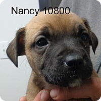 Adopt A Pet :: nancy - baltimore, MD